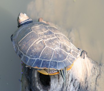 medium_tortue_a_tempes_rouges_img_2378.jpg