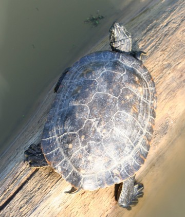 medium_tortue_a_tempes_rouges_img_2380.jpg