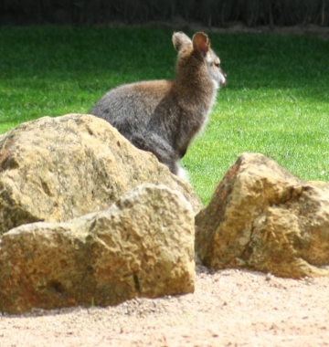 medium_wallaby_de_bennet_IMG_3302.jpg