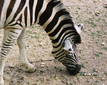 medium_zebre_img018.jpg